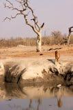 Impala africano al foro di acqua Fotografia Stock Libera da Diritti