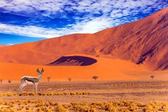 Impala - afrikanische Antilope lizenzfreie stockbilder