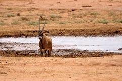 Impala Afrique Photographie stock libre de droits
