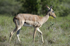 Impala, Afrique du Sud Images libres de droits