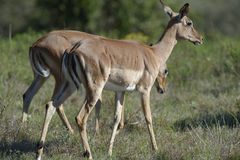 Impala, Afrique du Sud Photo stock