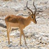 impala afryce Obrazy Royalty Free