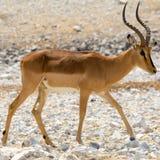 impala afryce Zdjęcia Stock