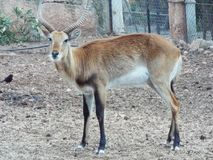 Impala Afryka Fotografia Royalty Free