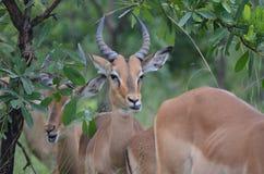 Impala afryki poludniowa antylopa Obraz Stock