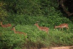 Impala al parco nazionale di Kruger Fotografia Stock Libera da Diritti