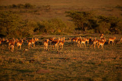 Impala al tramonto Immagini Stock Libere da Diritti