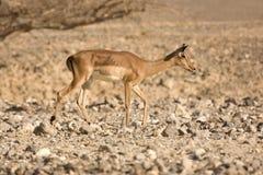Impala antelope Stock Image