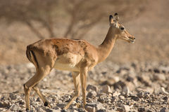 Impala antelope stock photos