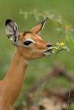 Impala antelope. A baby Impala antelope smells a small yellow flower Stock Photo