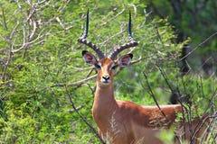 Impala antelope Stock Images