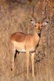Impala antelope Stock Photography