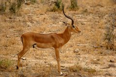 Impala Antelope Royalty Free Stock Photos