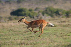 Impala antelope Royalty Free Stock Photography