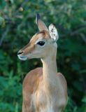 Impala antelope in Africa. A female Impala Antelope (Aepyceros Melampus) in the Kruger Park, South Africa Stock Images