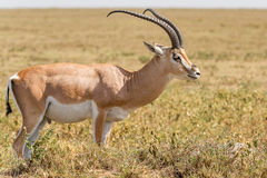 Impala antelope in Africa Stock Image
