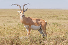Impala antelope in Africa Royalty Free Stock Photography