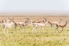 Impala antelope in Africa Stock Images