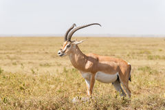 Impala antelope in Africa Royalty Free Stock Photo