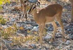 Impala antelope on the alert Stock Image