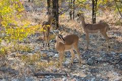 Impala antelope on the alert Royalty Free Stock Image
