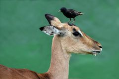 Impala Antelope with Bird on Head Stock Photography