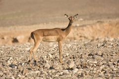 Impala antelope on desert stock photo
