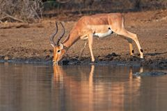 Impala antelope drinking Royalty Free Stock Photos