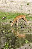 Impala antelope drinking water Royalty Free Stock Images