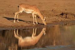 Impala antelope drinking water Royalty Free Stock Photos
