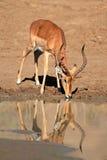Impala antelope drinking water Stock Photography