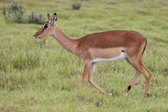 Impala Antelope Ewe Royalty Free Stock Photo