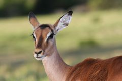 Impala Antelope Ewe Stock Photos