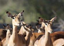 Impala antelope ewes. Attentive Impala antelope ewes in herd Royalty Free Stock Image