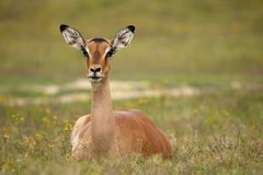 Impala Antelope Female Royalty Free Stock Photography