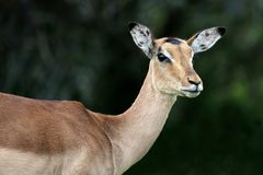 Impala Antelope Female Stock Photo