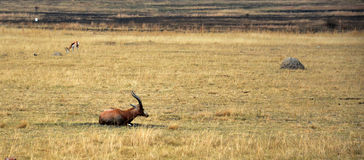 Impala antelope on the grass landscape. South Africa stock image