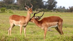 Impala Antelope Grooming stock video footage
