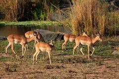 Impala antelope herd Royalty Free Stock Photos