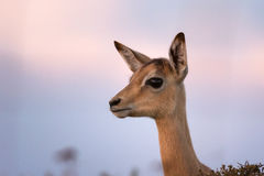 Impala antelope lamb Stock Images