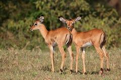 Impala antelope lambs Stock Photo