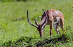 Impala antelope in the masai mara reserve in kenya africa Stock Image