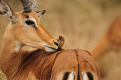 Impala Antelope and Oxpecker. Relationship between Impala Antelope (Aepyceros melampus) and Re-Billed Oxpecker (Buphagus erythrorhynchus Stock Image