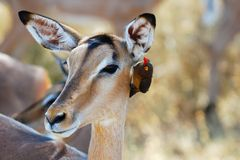 Impala Antelope and Oxpecker Royalty Free Stock Photography