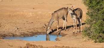 Impala Antelope Quenching Thirst at a Water Hole. Two female impala antelope in Africa drinking at a water hole Stock Photo