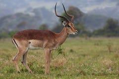 Impala Antelope Ram Stock Images