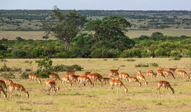 Impala antelope on the savanna Royalty Free Stock Photo
