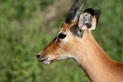 Impala Antelope - Serengeti, Tanzania, Africa Royalty Free Stock Image