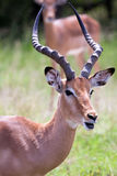 Impala antelope. South Africa, Kruger's National Park Stock Photography