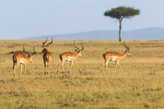 Impala antelope walking Stock Photos